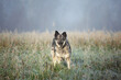 Funny fluffy dog walking in the autumn field