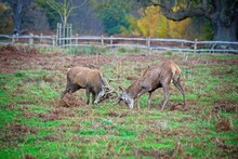 Young Deer Stags Fighting Duri...