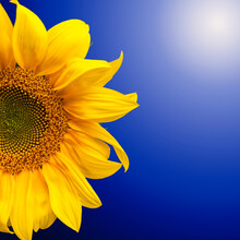 Background Of Half Yellow Sunflower Flower With Bright Petals With Blue Gradient And Lens Flare In The Corner. Sunflower Isolate On Blue Background With Copy Space.