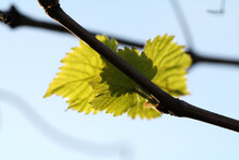 Green Vine Leaves On Branch Wi...