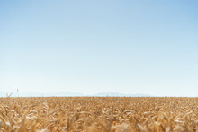 Endless Golden Wheat Field In Countryside On Background Of Blue Cloudless Sky On Sunny Day