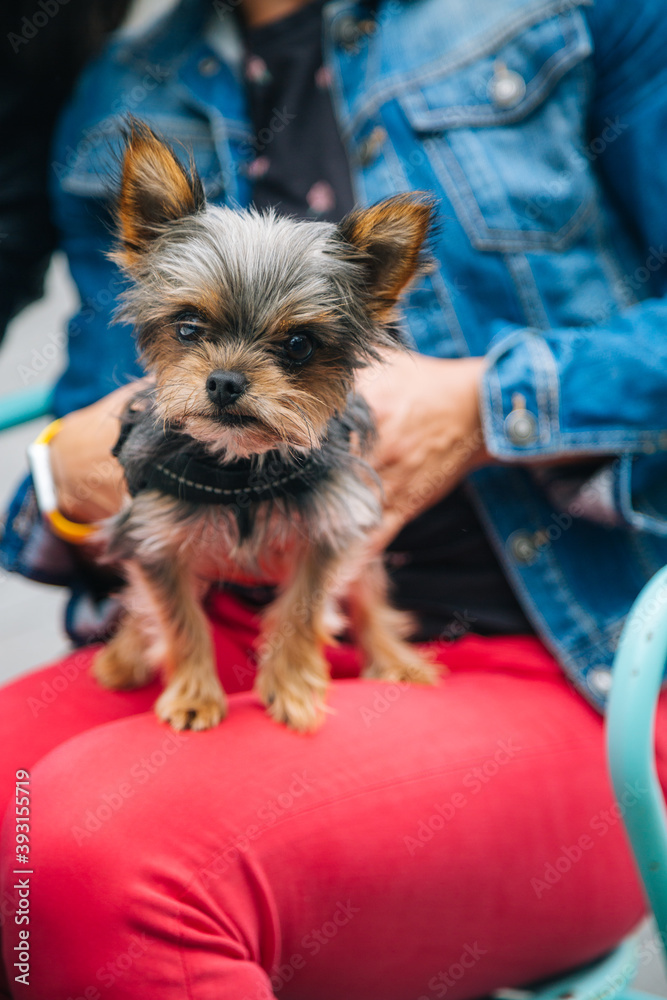 Fototapeta Adorable yorkshire terrier puppy on the legs of its owner