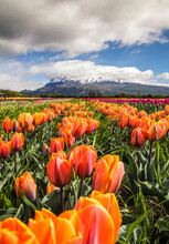 Scenic View Of Tulip Field Against Mountain