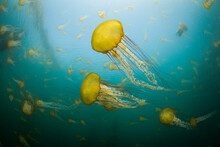 Group Of Sea Nettles Swimming In Sea