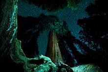 Low Angle View Of Giant Sequoias At Night In Kings Canyon National Park