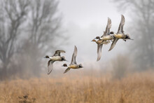 Northern Pintails Flying Over Grassy Field In Ridgefield National Wildlife Refuge