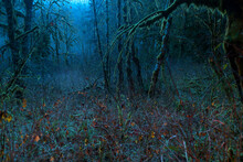 View Of Alder And Maple Trees Covered With Moss In Forest At Night
