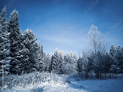 Stunning winter frosty landscape. Coniferous trees in the snow against a blue sky with clouds. Sunny cold winter day. Copspace. #393163959
