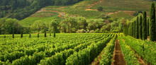 Vineyards Of Wine Country In E...