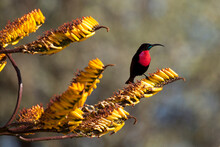 Scarlet Chested Sunbird Perchi...