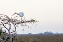 American White Ibis Perching On Bare Tree In Everglades National Park