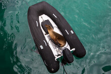 High Angle View Of Galapagos Sea Lion Sleeping In Inflatable Boat