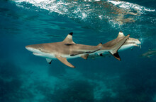 View Of Blacktip Sharks Swimmi...