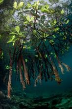 Low Angle View Of Mangrove Roo...