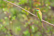 Close Up Of Green Bee Eater Perching On Branch