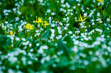 Close Up Of Spring Beauties An...
