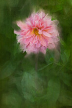Close Up Of Digital Painting Of Pink Dahlia