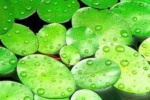 Close Up Of Green Aquatic Lily Pads With Water Drops