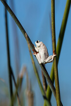 Close Up Of Painted Reed Frog On Reed In Okavango Delta