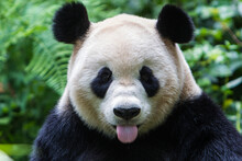 Portrait Of Panda