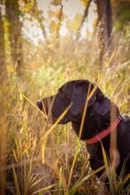 View Of Black Labrador Retriev...