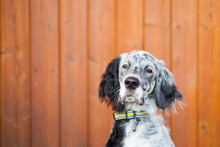 Portrait Of English Setter Dog...