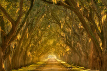 Scenic View Of Oak Lined Alley...