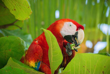 Close Up Of Scarlet Macaw Eati...
