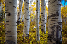 Scenic View Of Aspen Trees In ...