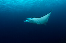 View Of Manta Ray Swimming In ...