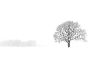 Scenic View Of Lone Oak Tree I...