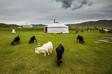 View Of Goat Grazing At Mongolian Ger Camp