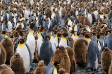 Group Of King Penguins Standin...
