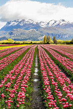 Scenic View Of Tulips Field Wi...
