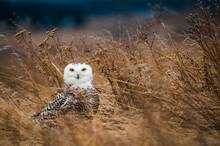 Portrait Of Snowy Owl Perching...