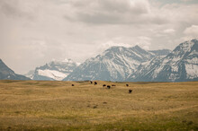 Scenic View Of Bison Herd And ...