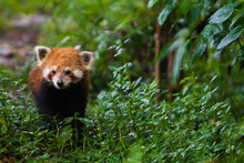 Red Panda Walking In Forest