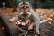Mother Long Tailed Monkey Holding Her Baby