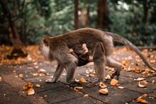 Mother Long Tailed Monkey Walk...
