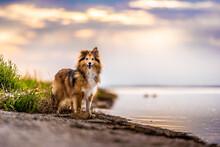 Shetland Shepherd At The Seaside At The Golden Hour, Brach, Sand, Water, Dog, Shepherd