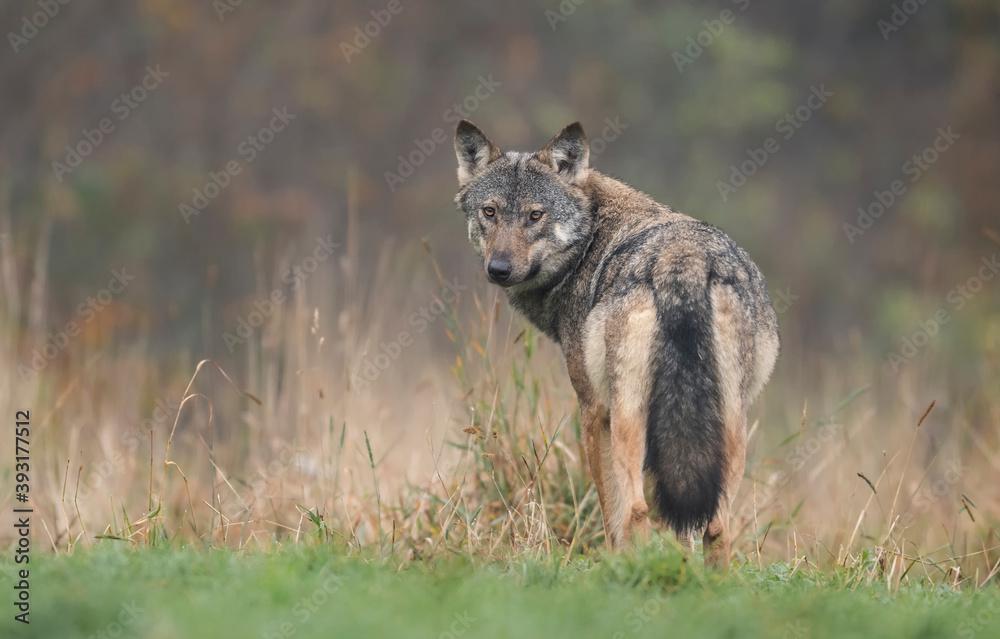 Fototapeta Grey wolf in natural scenery ( Canis lupus )