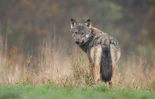Grey Wolf In Natural Scenery (...