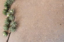 Closeup Shot Of A Pine Branch With Young Cone Buds On An Empty Background