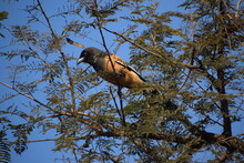 Rufous Treepie  Brown Bird Wit...