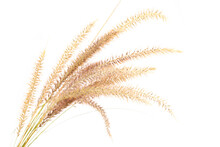 Yellow Dry Fountain Grasses With Seed Heads Isolated On A White Background.
