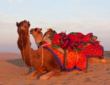 Dromedary Camels Waiting Touri...