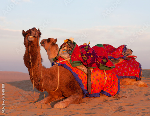 Foto Dromedary camels waiting tourists for riding over dunes in Thar desert near Jais