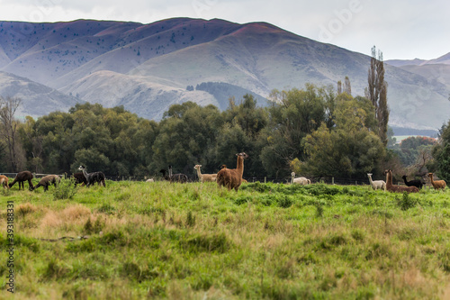 Fototapeta premium Herd of brown and black lamas