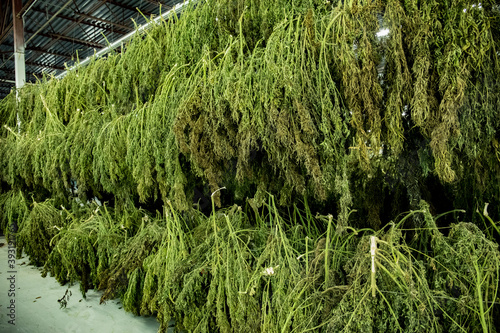 Drying and Curing Hemp in Facility Fototapeta