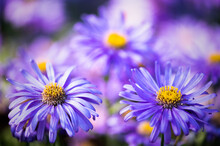 Purple Asters In The Flower Borders Of RHS Wisley Gardens, Hampshire